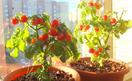 Овощи на подоконнике зимой: выращиваем помидоры и огурцы