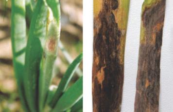 Що таке стемфіліоз на цибулі? Які причини появи хвороби? Як запобігти появі стемфіліозу?