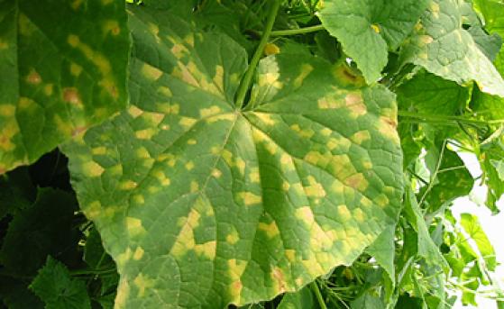 Як розпізнати хворобу на овочах?