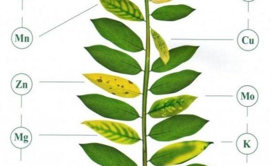 Як визначити дефіцит або надлишок харчування на овочевих культурах?