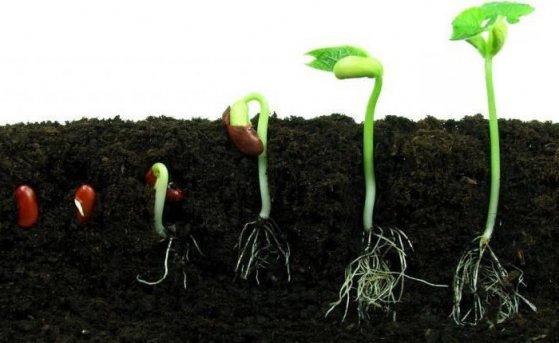 Як підготувати насіння до проростання. Схема висадки розсади.